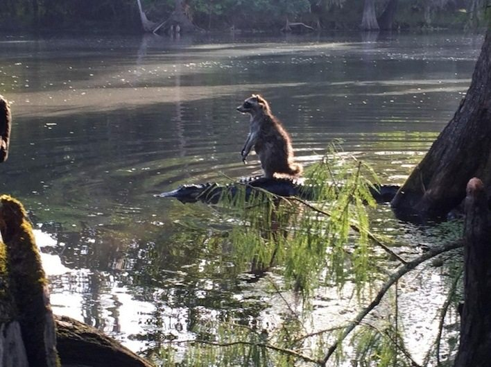 This picture shows a raccoon riding an alligator in Florida.